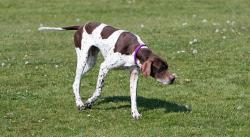 english pointer, pointer, dog, hunting, canine, pet