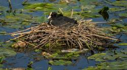 eurasian coot, bird, fowl, nest, pond, lake, water