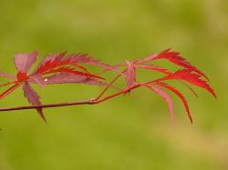 fan maple, maple, red, ornamental plant, tree, bush