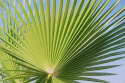 fan palm, palm, palmately divided, leaves, outline