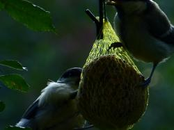fat balls, tit, blue tit, bird, eat, feeding