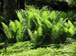 fern, forest glade, green, nature, plant