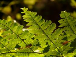 fern, plant, green, back light, flora, shine through
