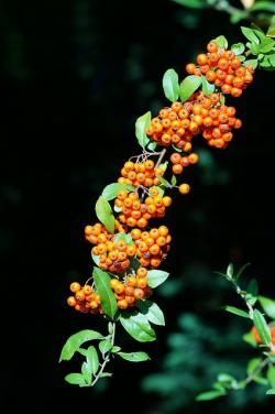 firethorn, pyracantha, orange, green, black, fruits