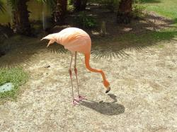 flamingo, flamingos, bird, birds, pink, tropical