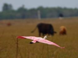 flamingo, flight, fly, span, wing, animal, bird, nature