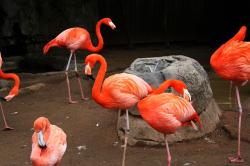 flamingos, pink, bird