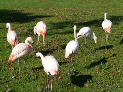 flamingos, white, pink, phoenicopteriform