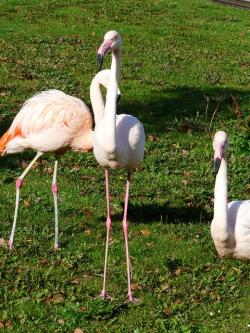 flamingos, white, stilts feet, feet, pink