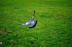 flight, background, feathers, pigeon, green, animal