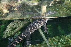 florida, aquarium, american crocodile