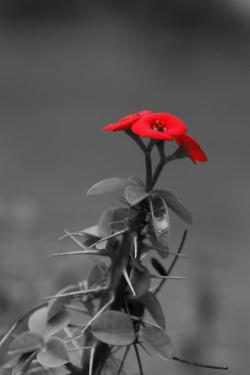 flower, black, white, red, flora, nature, florist