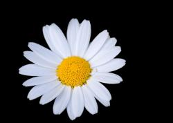 flower, daisy, white, floral, black, background, macro
