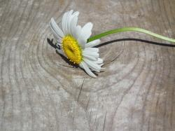 flower, daisy, white, flowers, day, petal, sheet, bloom