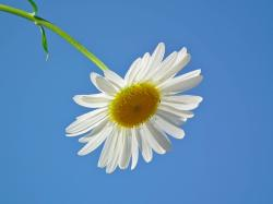 flower, daisy, white, flowers, day, sky, june, blue