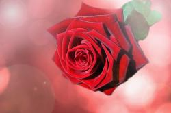 flower, flowers, red, rose, roses, background