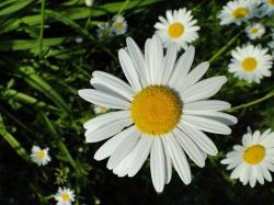 flower, flowers, white, yellow, marguerite, plant
