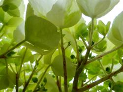 flower, green, white, under, buds, budding, hydrangea