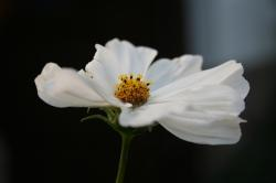 flower, magaritte, white flower, plant, flowers
