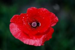 flower, nature, macro, poppy, red, blossom