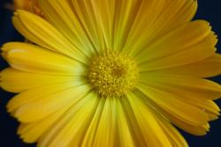 flower, yellow flower, yellow, close, marigold