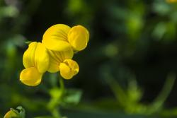 flower, yellow, macro, wildflower, nature