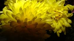 flower, yellow, nature, garden, petal, light