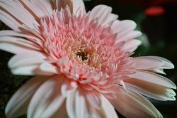 flowers, flowery, pink, nature, closeup, flower, daisy