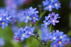 flowers, forget me not, blue, green, flower, plant