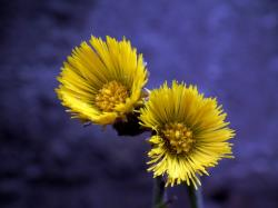 flowers, mother and stepmother, spring, yellow, flower
