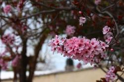 flowers, pink, cherry, tree, flower