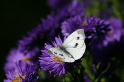 flowers, purple, violet, nature, butterfly