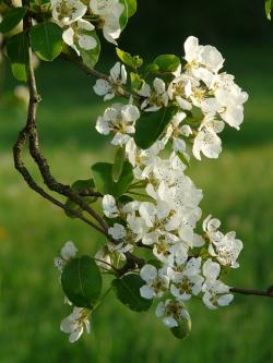 flowers, white, pear, pear blossom, flower, orchard