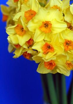 flowers, yellow, daffodil, spring, plants, blue