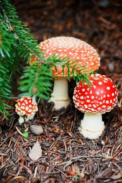 fly, cap, colorful, danger, fall, forest, fungi, fungus