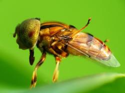 fly, macro, long tongue, sunny, perch, leaf, yellow