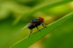 fly, macro, long tongue, wallpaper, sunny, perch, leaf