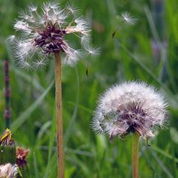 flying ripe fruits, withered, dandelion, flower, meadow