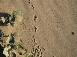 footprint, bird, sand