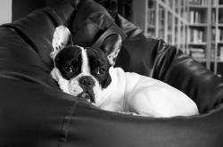 french bulldog, dog, puppy, pet, animals, bulldog, puff
