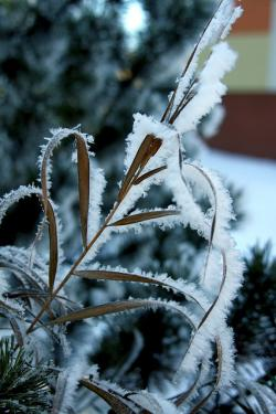 frost, frosty, leaves, plant, tree, cold, winter, snow