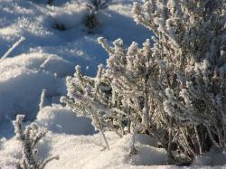 frost, winter, plant, tree, shrub, ice, snow, cold, sun