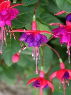 fuchsia, blossom, bloom, flower, plant, nature