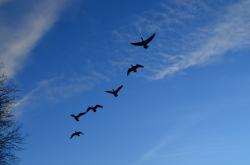 geese, flock, flight, sky, blue, animals, background