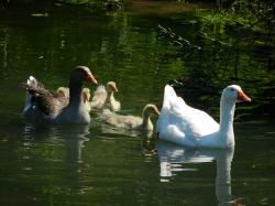 geese, goose family, water, swim, chicks, birds, bird