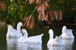 geese, pets, swim, water, group, autumn, nature