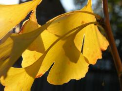 gingko, journal, leaves, autumn, colorful, decoration