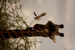 giraffe, bird, friends, animal, family, wild, mammal
