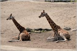 giraffe, giraffa camelopardalis, animal, savannah, wild