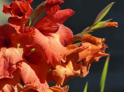 gladiolus, sword flower, iridaceae, red, green, bloom